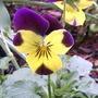 Violas 'Lemon swirl' (Viola 'Lemon Swirl')