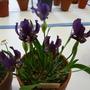 Irislutescenscampbellii