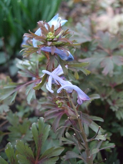 Corydalis flexuosa 'Purple Leaf' (Corydalis flexuosa (Corydalis))
