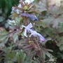 Corydalis_flexuosa_purple_leaf_