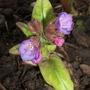 First_pulmonaria_flower