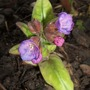 First pulmonaria flower (Pulmonaria rubra (Lungwort))