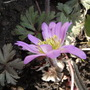First Anemone blanda this year. (Anemone blanda (pink))
