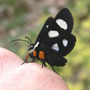 Eight-spotted Forester on my Hand