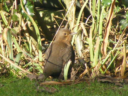Mrs. Blackbird sunbathing ( first rays after the cold weather)
