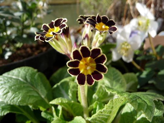 Primula 'Gold Lace' (Primula)