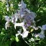 Irissibiricawhite