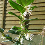 Sarcococca humilis (Christmas Box) (Sarcococca humilis)