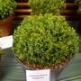 Juniperuschinensisechiniformis