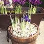 Irises4.3p2062619