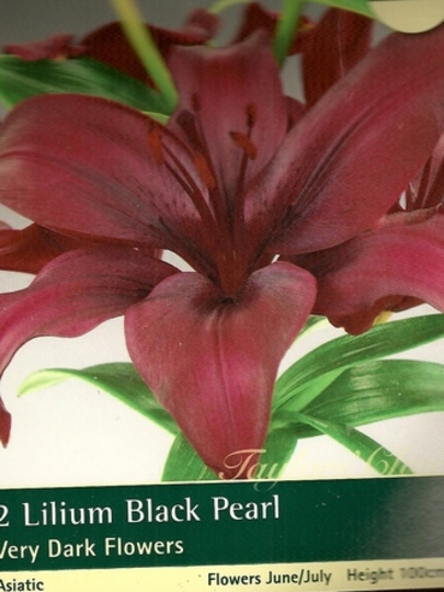 "Asiatic Lily ""Black Pearl"""