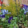 Another winter basket Dwarf  Iris Lady Beatrix Stanley and Pansy (Iris)