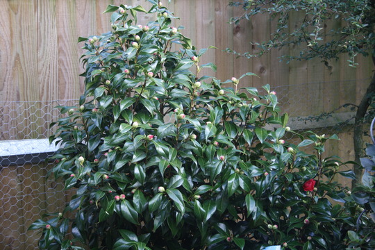 Camellia bush (Camellia japonica (Camellia))