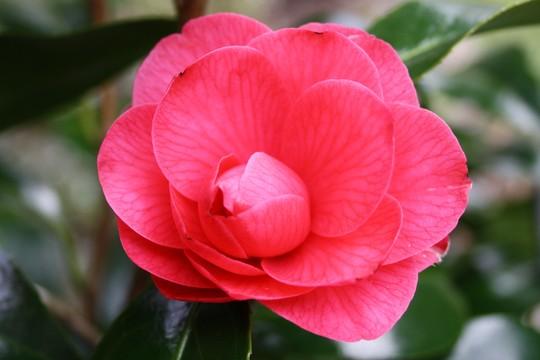 Pink camellia close up (Camellia japonica (Camellia))