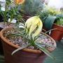 Liliumlophophorum
