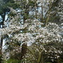 Magnoliasalicifolia