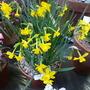 Narcissus calcicola Idoll