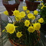 Narcissus Anne