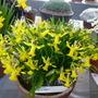 Narcissus Betty Mae