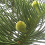 Araucaria heterophylla - Norfolk Island Pine with developing cones (Araucaria heterophylla - Norfolk Island Pine)