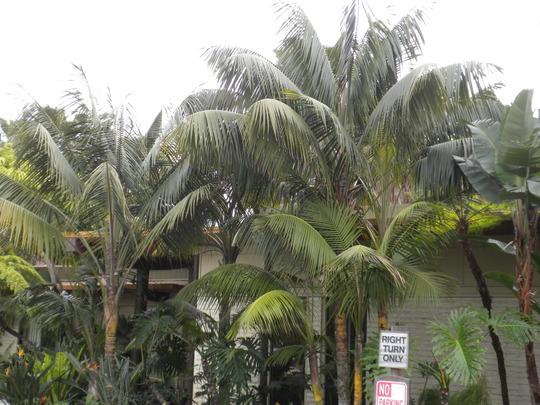Howea fosteriana - Kentia Palms freshly pruned (Howea fosteriana - Kentia Palm)