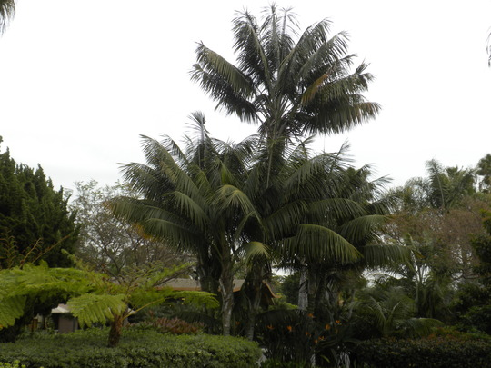 Howea fosteriana - Kentia Palms at Paradise Point Resort (Howea fosteriana - Kentia Palm)