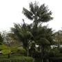 Howea fosteriana - Kentia Palms at Paradise Point Resort (Howea fosteriana - Kentia Palm)