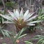 Vriesea imperialis - Giant Bromeliad (Vriesea imperialis - Giant Bromeliad)