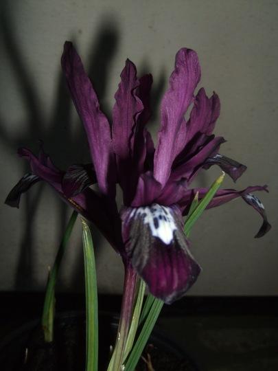 Iris reticulata 'Pauline' (Iris reticulata)