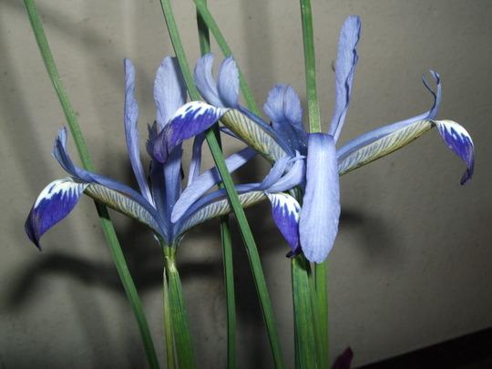 Iris reticulata 'Clairette' (Iris reticulata)