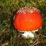 ",,Berserkjasveppur"" means berserk fungi (Amanita muscaria)"