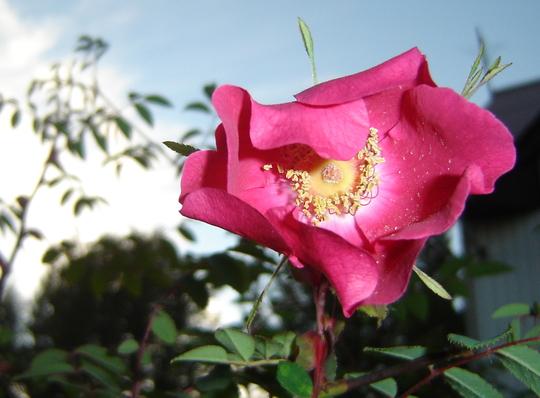 Rosa sweginzowii.   (Rosa sweginzowii.)