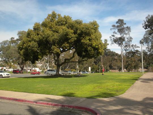 Cinnamomum camphora - Camphor Tree in Morley Field (Cinnamomum camphora - Camphor Tree)