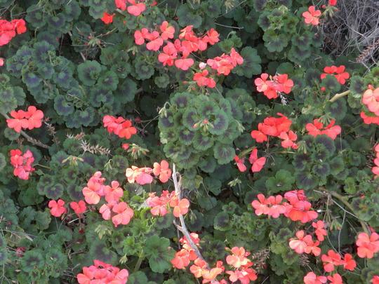 Pelargonium - Geranium (Pelargonium - Geranium)