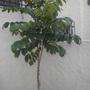 Spathodea campanulata - Young African Tulip Tree in San Diego, CA (Spathodea campanulata - African Tulip Tree)