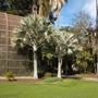 Bismarckia nobilis - Bismarck Palms freshly pruned (Bismarckia nobilis - Bismarck Palm)