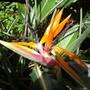 Strelitzia regina  (Strelitzia reginae (Bird of paradise))