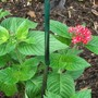 Pentas lanceolata  red (Pentas lanceolata red)