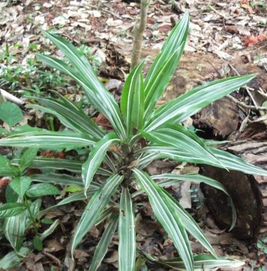 Dracaena deremensis (Dracaena deremensis)
