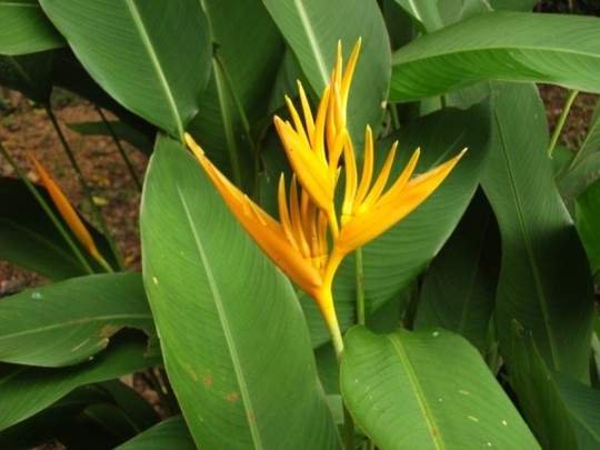 Heliconia psottacorum ,golden torch (Heliconia psittacorum golden torch)
