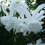Narcissusthalia