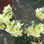 Narcissus triandrus  x rupicola