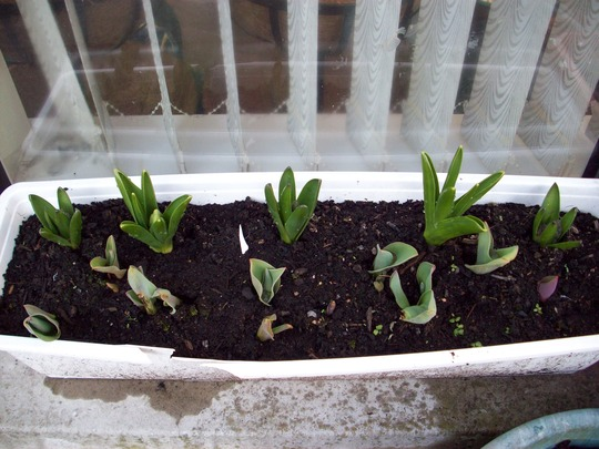 hyacinths and tulips coming along nicely :-)