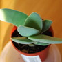 Crassula perfoliata v falcata.. (Crassula perf v falcata.)