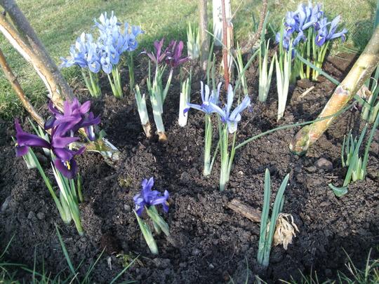 Lots of Iris reticulata (Iris reticulata)