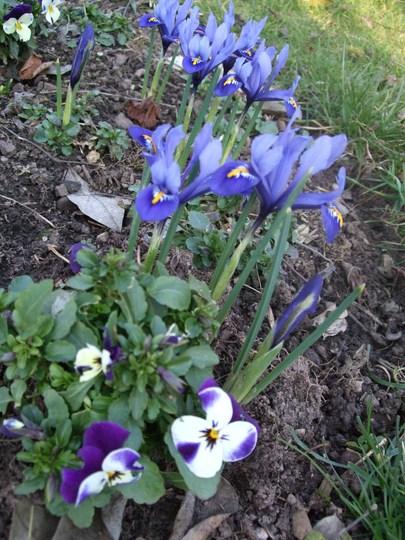 In harmony! (Iris reticulata (Iris))