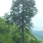 Araucaria Araucana