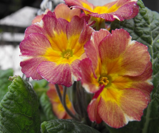 Primroses just starting to pick up again after the winter freeze....
