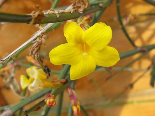 Lone Winter Jasmine flower........