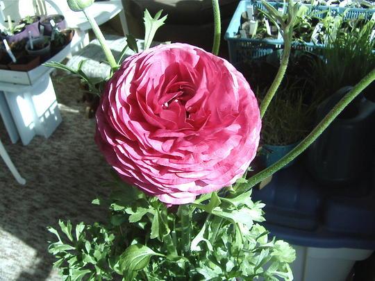 New pink Ranunculus (Ranunculus asiaticus)
